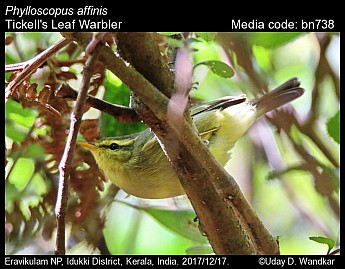 Phylloscopus affinis - Tickell's Leaf Warbler