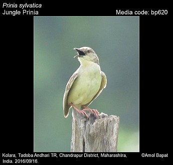 Prinia sylvatica - Jungle Prinia