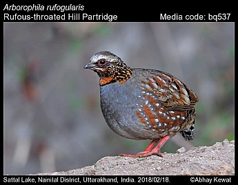Arborophila rufogularis - Rufous-throated Hill Partridge