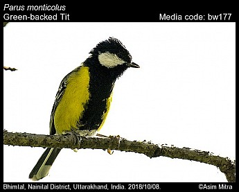 Parus monticolus - Green-backed Tit