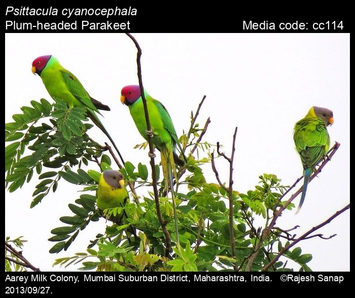 Psittacula cyanocephala - Plum-headed Parakeet - Birds of India