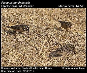 Ploceus benghalensis - Black-breasted Weaver