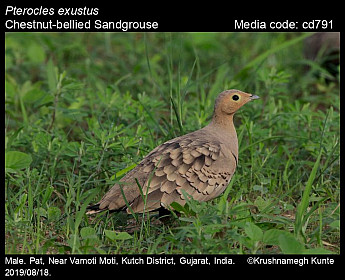Pterocles exustus - Chestnut-bellied Sandgrouse