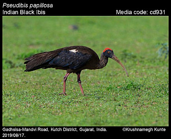 Pseudibis papillosa - Indian Black Ibis