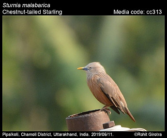 Sturnia malabarica - Chestnut-tailed Starling