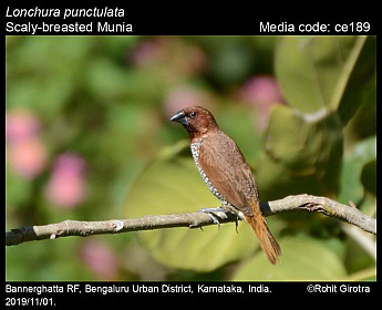 Lonchura punctulata - Scaly-breasted Munia