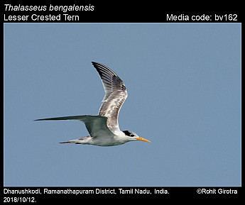 Thalasseus bengalensis - Lesser Crested Tern