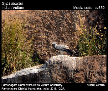 Gyps indicus - Indian Vulture