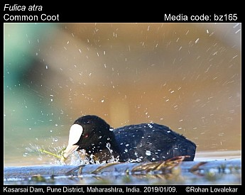 Fulica atra - Common Coot