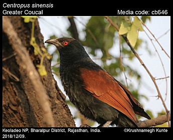 Centropus sinensis - Greater Coucal