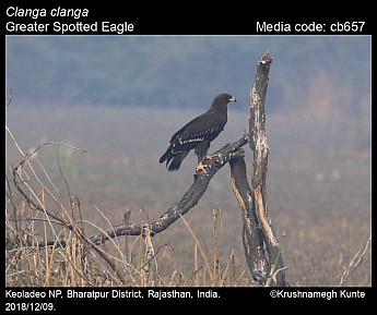 Clanga clanga - Greater Spotted Eagle