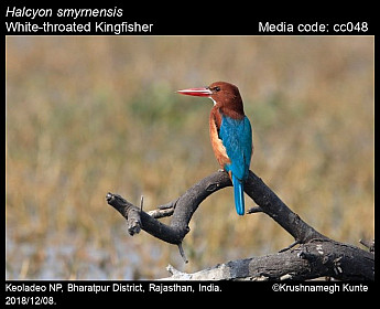 Halcyon smyrnensis - White-throated Kingfisher