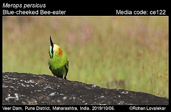 Merops persicus - Blue-cheeked Bee-eater