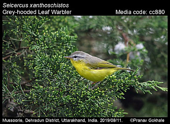 Seicercus xanthoschistos - Grey-hooded Leaf Warbler