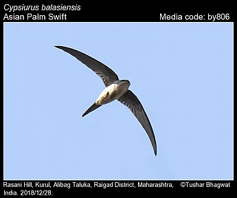 Cypsiurus balasiensis - Asian Palm Swift