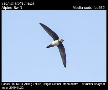 Tachymarptis melba - Alpine Swift