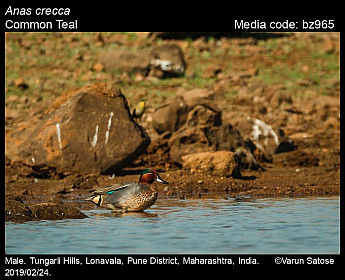 Anas crecca - Common Teal
