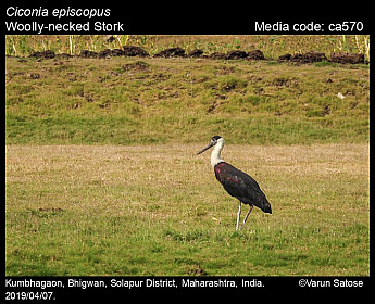 Ciconia episcopus - Woolly-necked Stork