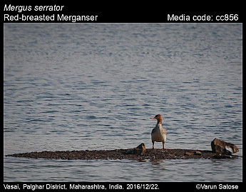 Mergus serrator - Red-breasted Merganser