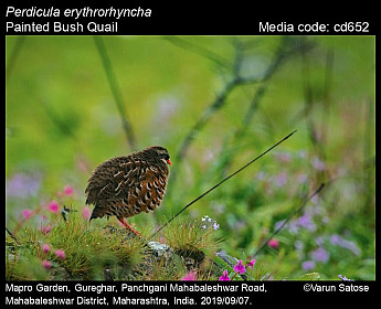 Perdicula erythrorhyncha - Painted Bush Quail