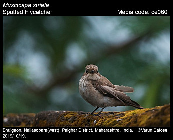 Muscicapa striata - Spotted Flycatcher