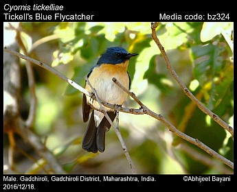 Cyornis tickelliae - Tickell's Blue Flycatcher