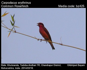 Carpodacus erythrinus - Common Rosefinch
