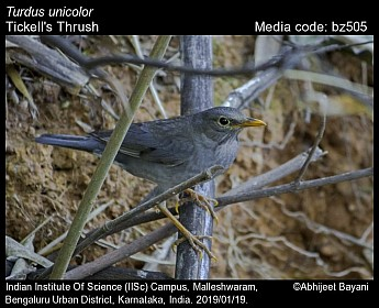 Turdus unicolor - Tickell's Thrush