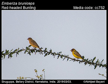 Emberiza bruniceps - Red-headed Bunting