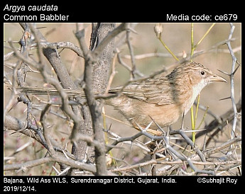 Argya caudata - Common Babbler
