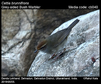 Cettia brunnifrons - Grey-sided Bush Warbler
