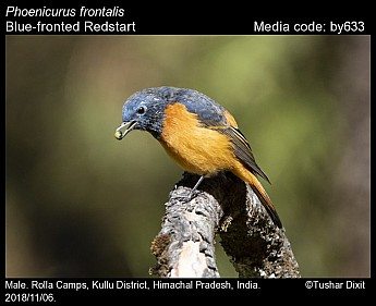 Phoenicurus frontalis - Blue-fronted Redstart
