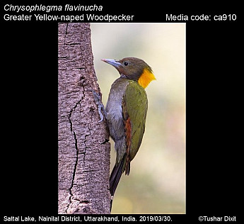 Chrysophlegma flavinucha - Greater Yellow-naped Woodpecker