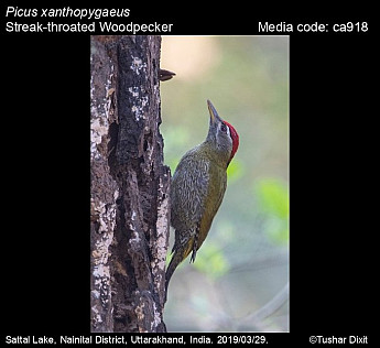 Picus xanthopygaeus - Streak-throated Woodpecker