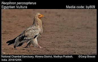 Neophron percnopterus - Egyptian Vulture