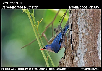 Sitta frontalis - Velvet-fronted Nuthatch