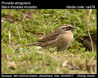 Prunella atrogularis - Black-throated Accentor