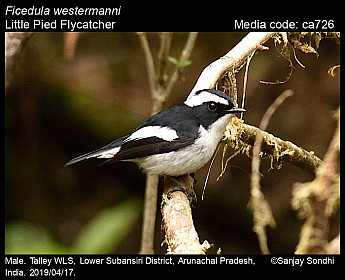 Ficedula westermanni