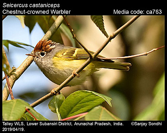 Seicercus castaniceps - Chestnut-crowned Warbler