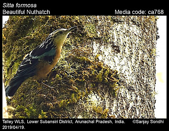 Sitta formosa - Beautiful Nuthatch