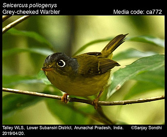 Seicercus poliogenys - Grey-cheeked Warbler