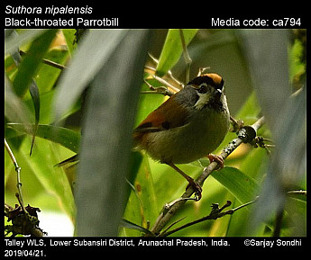 Suthora nipalensis - Black-throated Parrotbill