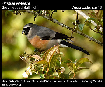 Pyrrhula erythaca - Grey-headed Bullfinch