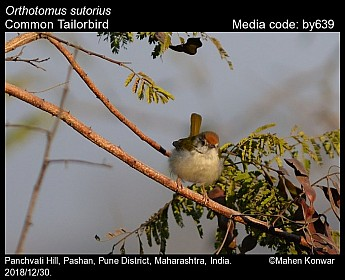 Orthotomus sutorius - Common Tailorbird