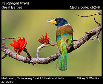 Psilopogon virens - Great Barbet