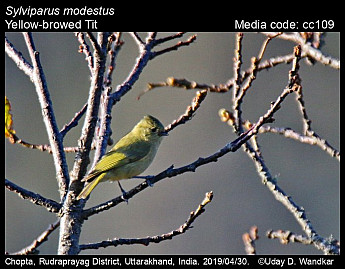 Sylviparus modestus - Yellow-browed Tit