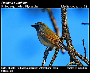 Ficedula strophiata - Rufous-gorgeted Flycatcher