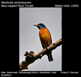 Monticola cinclorhyncha - Blue-capped Rock Thrush