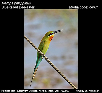 Merops philippinus - Blue-tailed Bee-eater