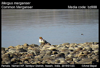 Mergus merganser - Common Merganser